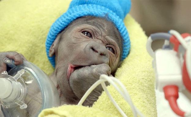 גורת הגורילה שנולדה. מזל טוב! (צילום: KPBS, YouTube)