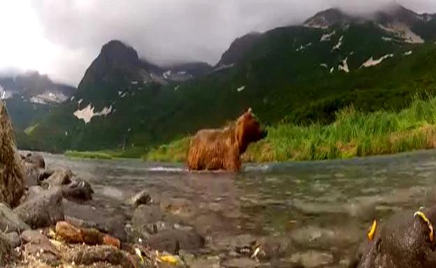 שגרתם של הדובים (צילום: יוטיוב)