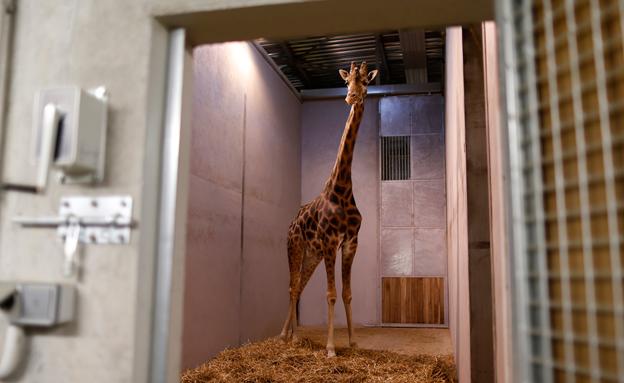 ג'ירפה בגן חיות (צילום: רויטרס)