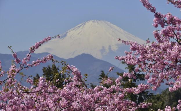 פריחת הדובדבן ביפן (צילום: אימג'בנק / Thinkstock)