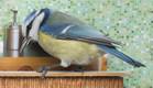 """האח הגדול: גירסת הציפורים (צילום: מתוך: 'Piip Show"""", של רשת השידור הנורבגית NRK, צילום מסך)"""