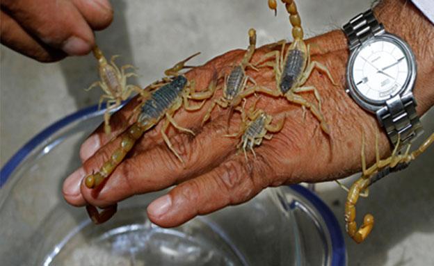 מסוכנים. עקרבים צהובים (צילום: AP)