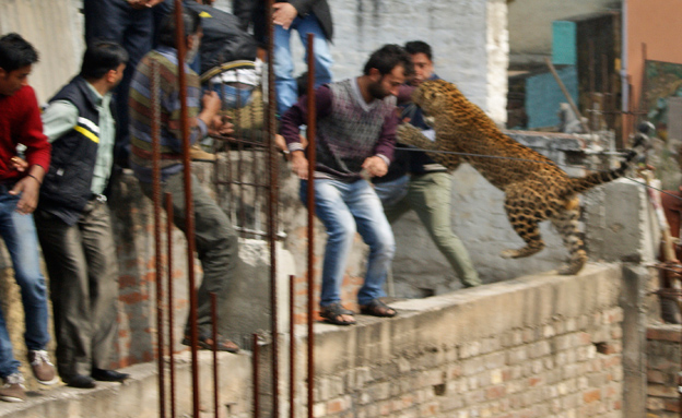 נמר, הודו (צילום: חדשות 2)