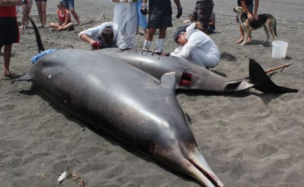 לוויתנים מתים (צילום: Avenue/Wikimedia commons)