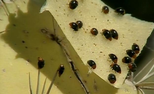 החיפושיות הטורפות יילחמו בכנימה (צילום: חדשות 2)