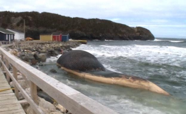 הלוויתן המת - אטרקציה וסכנה (צילום: רויטרס)