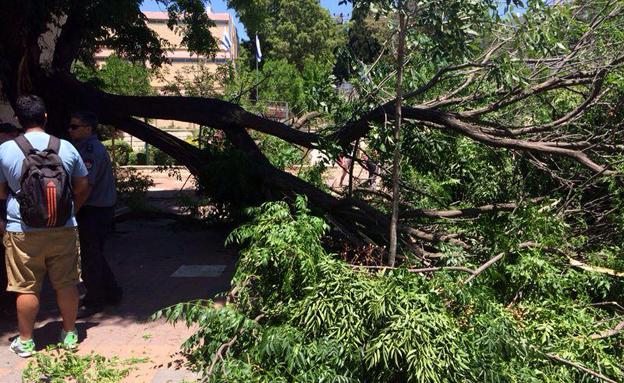 קריסת העץ בחצר בית הספר, אתמול