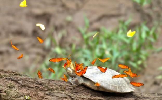פרפרים ודמעות צבים (צילום: ג'ף קרמר)