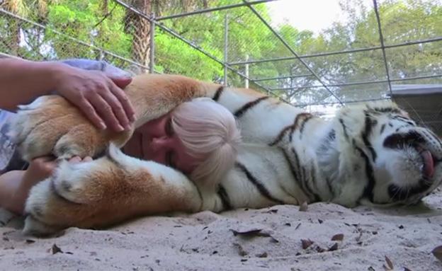 טיגריס מחבק אישה (צילום: חדשות 2)