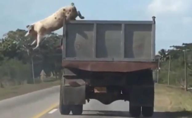 חזיר קופץ ממשאית (צילום: יוטיוב)