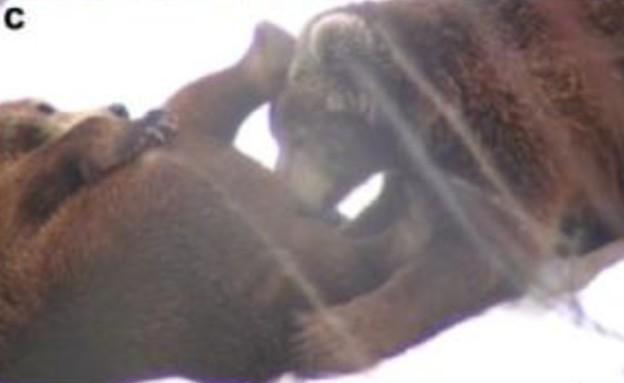 דובים סקס אוראלי (צילום: Malene Thyssen)