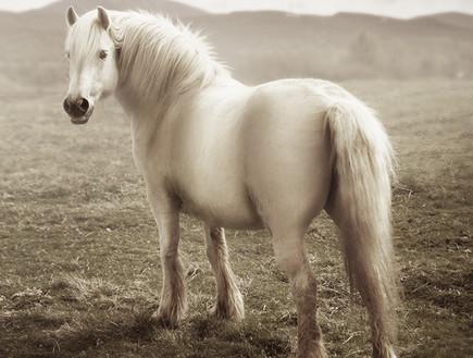 סקוטלנד, סוס (צילום: סיון פרץ)