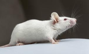 עכבר (צילום: אימג'בנק / Thinkstock)