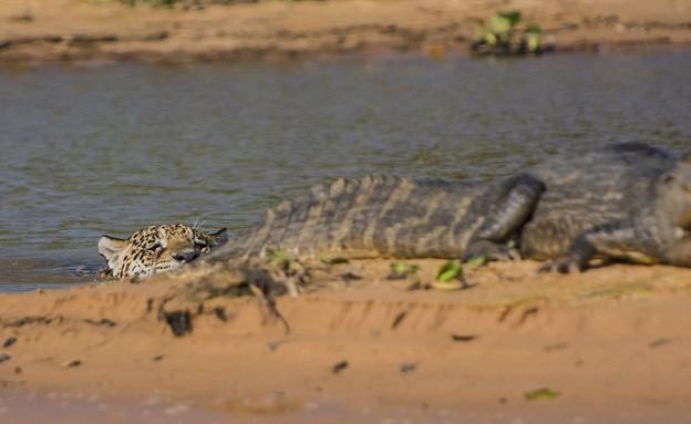 יגואר תוקף תנין (צילום: Barcroft Media)