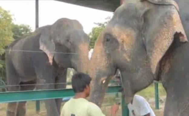 ראג'ו הפיל (צילום: WildlifeSOS)