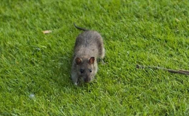 עכברושים בלובר (צילום: טוויטר)