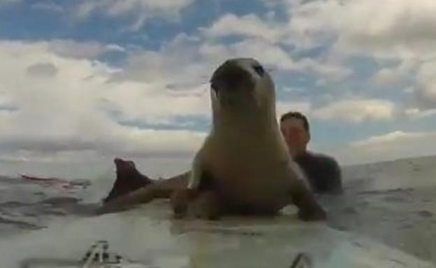 כלב ים גולש (צילום: יוטיוב)