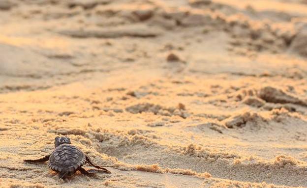 צבים בחופי ישראל (צילום: עומר וולבוטר)