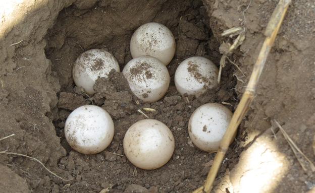 צפו בקני הצבים שהתגלו (צילום: מיכאל קופליק, רשות נחל הקישון)