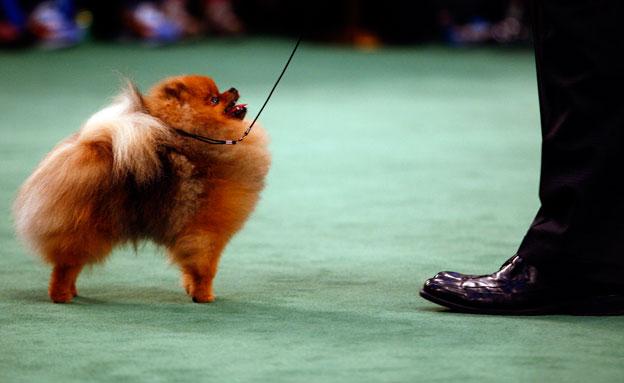 כלב פומרניאן. ארכיון (צילום: רויטרס)