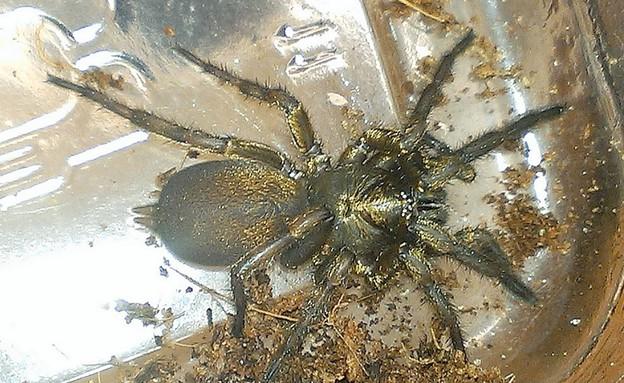 עכבישים בבית (צילום: NEAS)