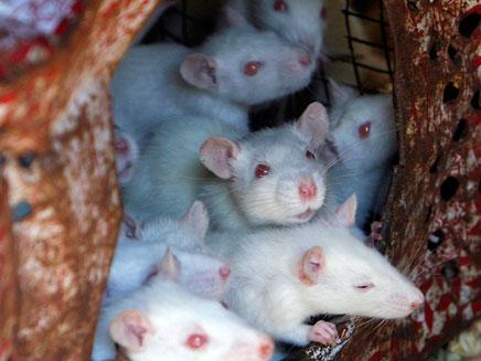 גם עכברים נשלחים לחלל (אילוסטרציה) (צילום: רויטרס)