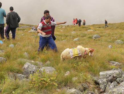 מסע טיהור - כוהנים משלחים את הכבש המקודש בעל ארבעת הקרניים לאלה  (צילום: יורם פורת)