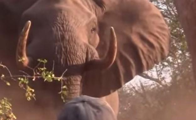 פיל תוקף (צילום: יוטיוב)