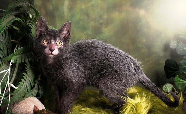 Lykoi חתול זאב (צילום: בריטני גובל )