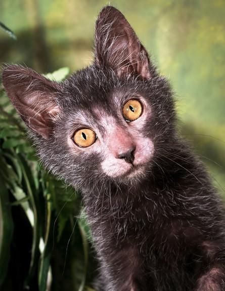 Lykoi חתול זאב (צילום: בריטני גובל)