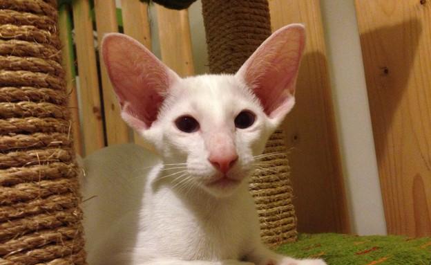 חתול אוריינטלי (צילום: הלן גודניאצקי)