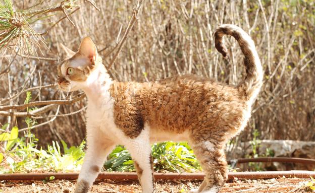 חתול דבון רקס (צילום:  סרגיי סטרדוצב)