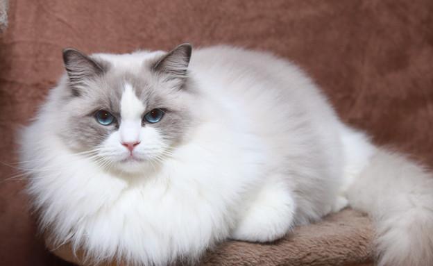 חתול רגדול (צילום: נטליה לרנר)