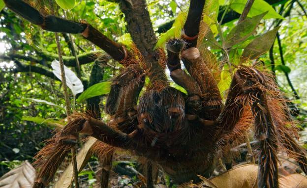 העכביש הכי גדול (צילום: פיוטר נסקרקי )