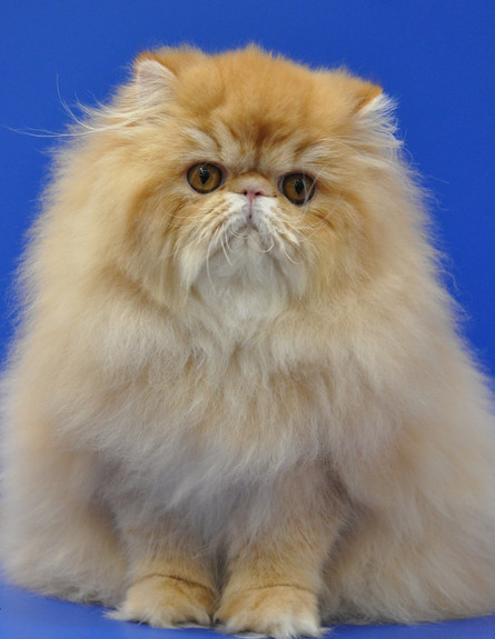 חתול הימלאיה (צילום: רוברט רביב)