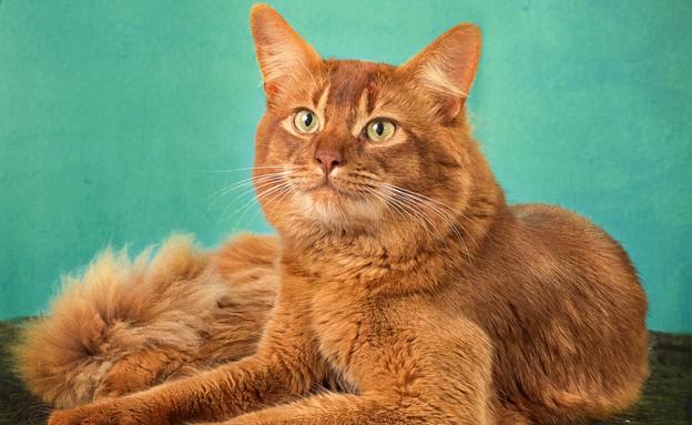חתול סומלי (צילום: טטיאנה דרוז)
