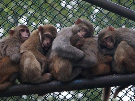הרבה כסף מהקופה לצפייה בקופים (צילום: AP)