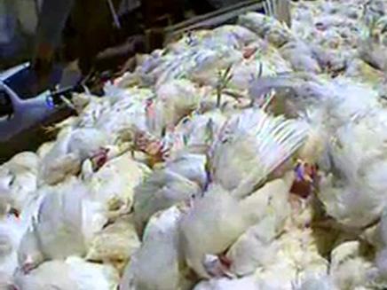 תחקיר על תרנגולות