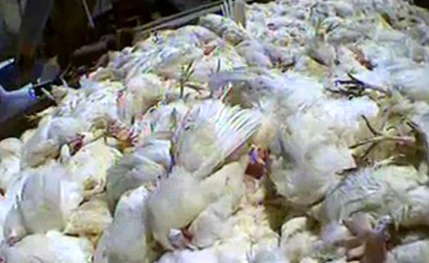 תחקיר על תרנגולות (צילום: חדשות 2)