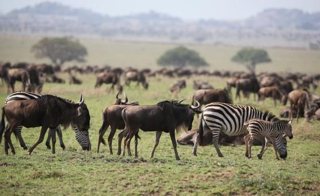 ספארי, טנזניה (צילום: זיו קורן)