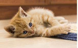 חתול שוכב על הריצפה (צילום: thinkstock)