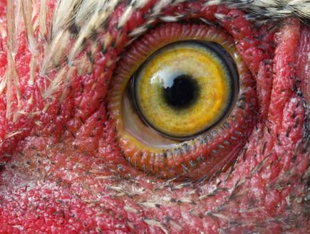 עין תרנגול (צילום: listverse.com)