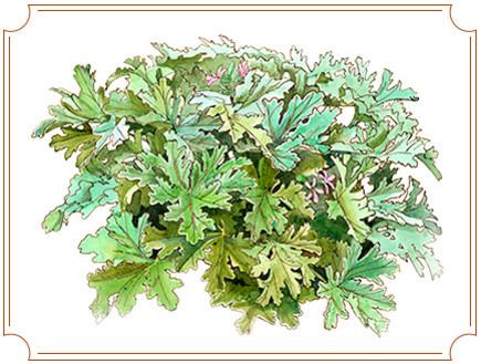 גרניום-לימוני,-צמחי-מרפא