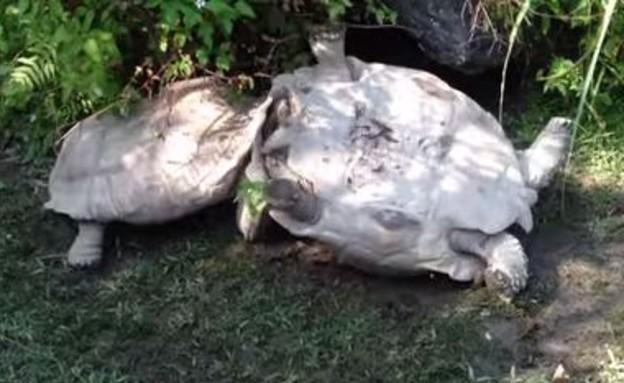 צב הפוך (צילום: יוטיוב)