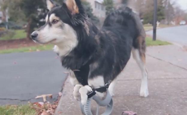 צפו בכלב מהלך על פרוטזות
