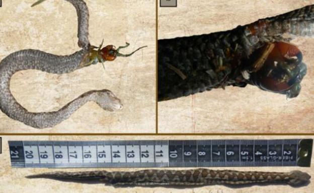 נחש ומרבה רגליים (צילום: Ecologica Montenegrina)