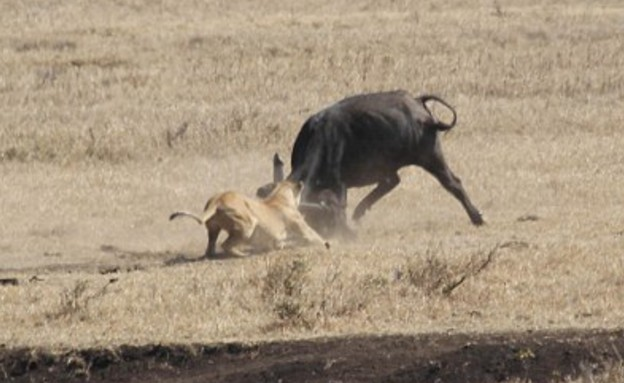 באפלו ואריות (צילום: Media Ltd)