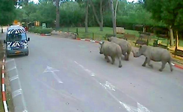 צפו במבצע החזרת החיות לשטח הספארי (צילום: חדשות 2)