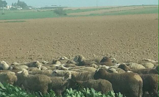 כבשים שנגנבו (צילום: חטיבת דוברות המשטרה)