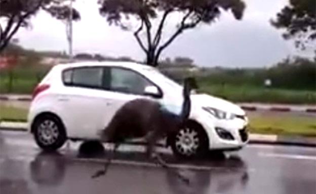 באמצע הכביש: מרדף אחרי אמו. צפו